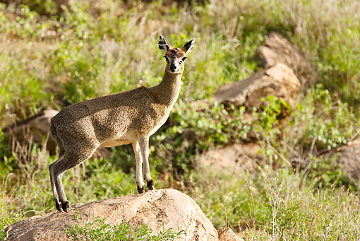 AFW 31 MC0002 01 © Kimball Stock Klipspringer Standing On Rock Kenya