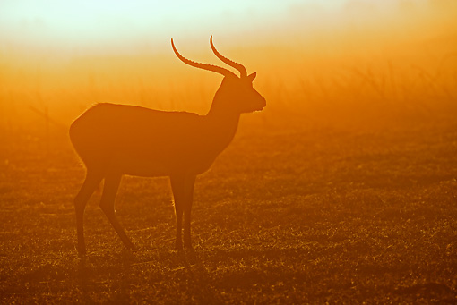 AFW 31 MH0006 01 © Kimball Stock Black Lechwe Standing On Savanna At Sunset Zambia