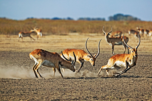 AFW 31 MH0008 01 © Kimball Stock Herd Of Kafue Lechwe Running On Savanna Zambia