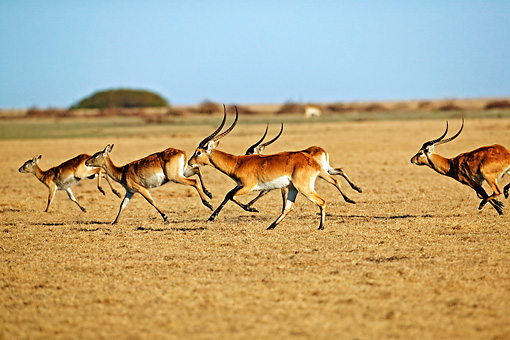 AFW 31 MH0009 01 © Kimball Stock Herd Of Kafue Lechwe Running On Savanna Zambia