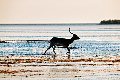 AFW 31 MH0012 01 © Kimball Stock Kafue Lechwe Running In Water Zambia