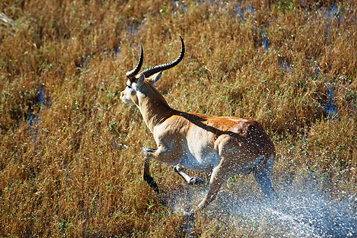 AFW 31 MH0013 01 © Kimball Stock Red Lechwe Running On Wetland Zambia