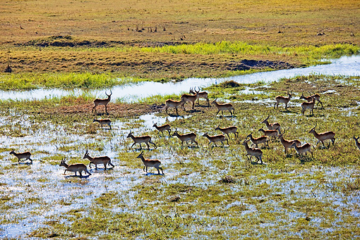 AFW 31 MH0016 01 © Kimball Stock Herd Of Red Lechwe On Wetland Zambia