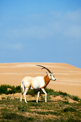 AFW 31 MH0017 01 © Kimball Stock Scimitar Oryx Walking On Savanna Morocco
