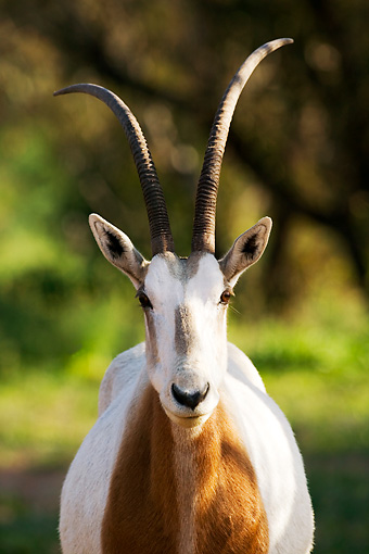 AFW 31 MH0018 01 © Kimball Stock Head Shot Of Scimitar Oryx   Standing On Savanna Morocco