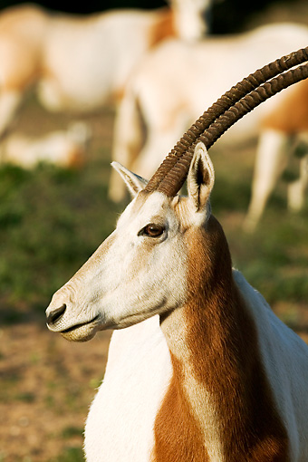 AFW 31 MH0019 01 © Kimball Stock Head Shot Of Scimitar Oryx   Standing On Savanna Morocco