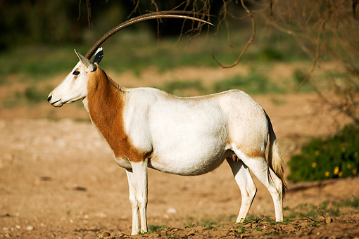 AFW 31 MH0020 01 © Kimball Stock Scimitar Oryx   Standing On Savanna Morocco