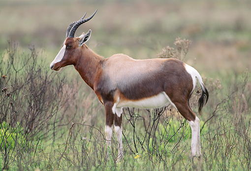 AFW 31 MH0026 01 © Kimball Stock Bontebok Standing On Savanna In De Hoop National Reserve South Africa Profile