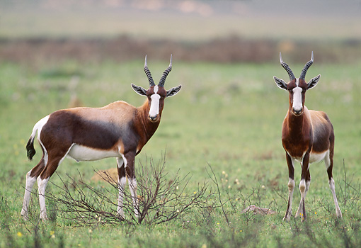 AFW 31 MH0027 01 © Kimball Stock Two Bontebok Standing On Savanna In De Hoop National Reserve South Africa