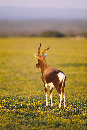 AFW 31 MH0032 01 © Kimball Stock Bontebok Standing On Savanna In De Hoop National Reserve South Africa At Dawn