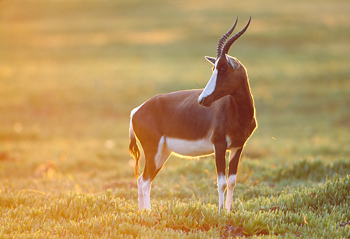 AFW 31 MH0033 01 © Kimball Stock Bontebok Standing On Savanna In De Hoop National Reserve South Africa At Dawn