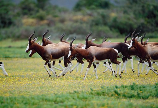 AFW 31 MH0034 01 © Kimball Stock Herd Of Bontebok Running On Savanna In De Hoop National Reserve South Africa