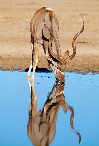 AFW 31 MH0038 01 © Kimball Stock Greater Kudu Drinking From Watering Hole Reflecting Blue Sky Namibia