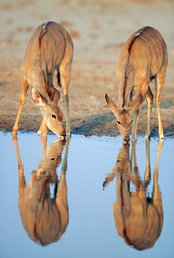 AFW 31 MH0039 01 © Kimball Stock Two Greater Kudu Females Drinking From Watering Hole Namibia