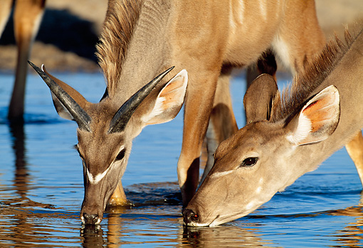 AFW 31 MH0040 01 © Kimball Stock Close-Up Of Two Greater Kudu Females Drinking From Watering Hole Namibia