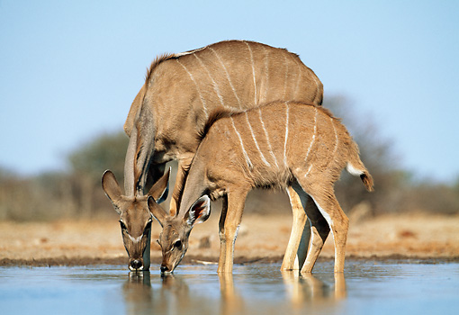 AFW 31 MH0041 01 © Kimball Stock Greater Kudu Mother And Young Drinking From Watering Hole Namibia