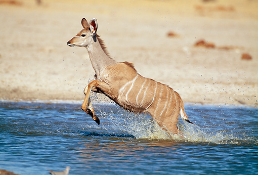 AFW 31 MH0042 01 © Kimball Stock Young Greater Kudu Running Through Watering Hole Namibia