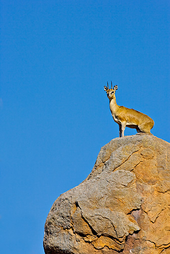 AFW 31 WF0005 01 © Kimball Stock Klipspringer Male Standing On Territorial Boulder