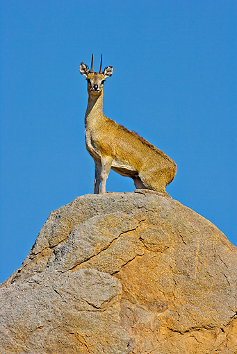 AFW 31 WF0006 01 © Kimball Stock Klipspringer Male Standing On Territorial Boulder