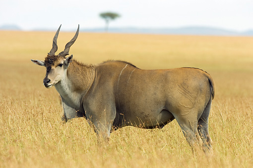 AFW 31 NE0001 01 © Kimball Stock Common Eland Standing On Savanna Kenya