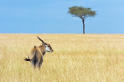 AFW 31 NE0002 01 © Kimball Stock Common Eland Standing On Savanna Kenya