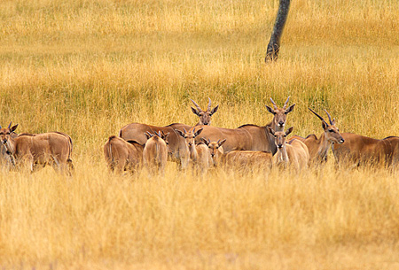 AFW 31 RK0006 01 © Kimball Stock A Herd Of The Largest Antelopes Cape Eland (Taurotragus oryx) On Tall Dry Grass