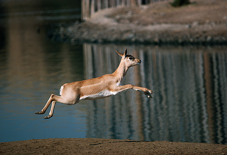 AFW 31 RK0044 01 © Kimball Stock Profile Shot Of Antelope Jumping By Water