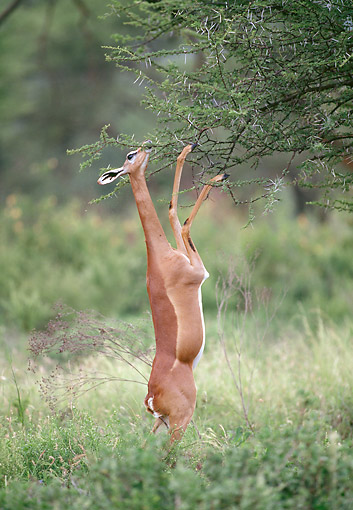 AFW 35 GL0003 01 © Kimball Stock Gerenuk Standing On Hind Legs To Eat Leaves At Samburu National Reserve, Kenya