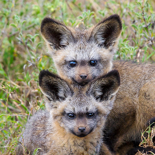 AFW 35 KH0002 01 © Kimball Stock Bat-Eared Fox Puppies Laying In Kenya