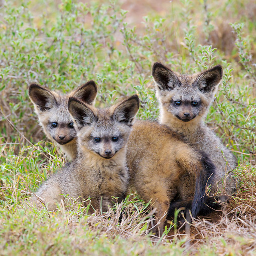 AFW 35 KH0003 01 © Kimball Stock Bat-Eared Fox Puppies Laying In Grass Kenya