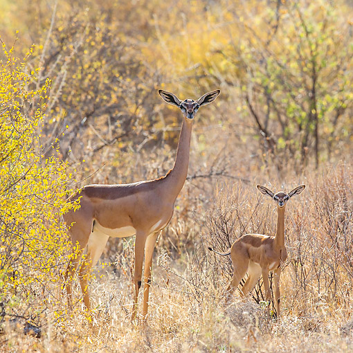 AFW 35 KH0004 01 © Kimball Stock Gerenuk And Calf Standing In Grass In Kenya