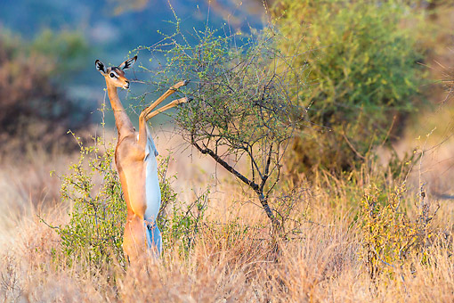 AFW 35 KH0005 01 © Kimball Stock Gerenuk Standing In Samburu National Reserve In Kenya