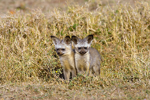 AFW 35 MC0001 01 © Kimball Stock Bat-Eared Fox Cubs Sitting In Grassland Near Den Kenya