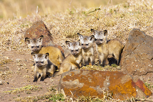 AFW 35 MC0002 01 © Kimball Stock Bat-Eared Fox Cubs Sitting In Grassland Kenya