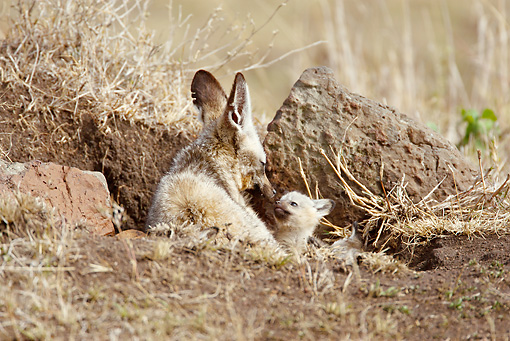 AFW 35 MC0007 01 © Kimball Stock Bat-Eared Fox Sitting In Den With Cubs Masai Mara, Kenya