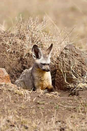 AFW 35 MC0008 01 © Kimball Stock Bat-Eared Fox Sitting In Den With Cubs Masai Mara, Kenya