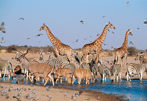 AFW 35 MH0001 01 © Kimball Stock Giraffes, Antelope, Zebras And Pigeons Drinking At Watering Hole In Savanna Africa