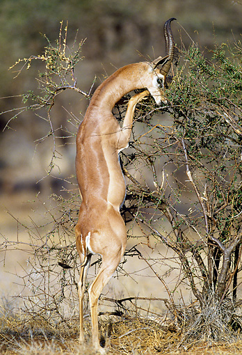 AFW 35 MH0003 01 © Kimball Stock Gerenuk Standing On Hind Legs To Reach Leaves In Tree