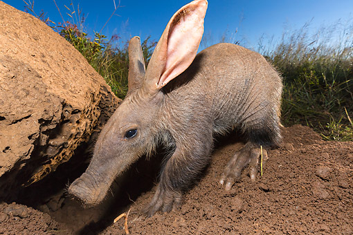 AFW 35 MH0006 01 © Kimball Stock Aardvark Sniffing In The Dirt In Namibia