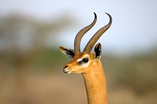 AFW 35 JZ0003 01 © Kimball Stock Head Shot Of Gerenuk Standing Kenya