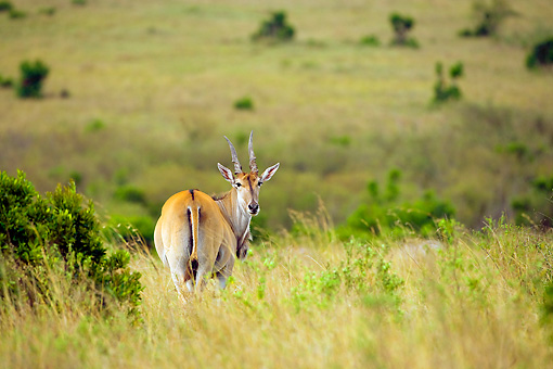AFW 35 JZ0004 01 © Kimball Stock Common Eland Standing On Plains Looking Back Kenya