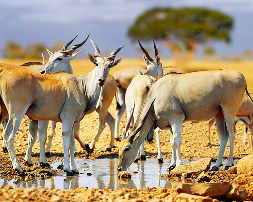 AFW 35 JZ0005 01 © Kimball Stock Common Elands Drinking At Watering Hole Kenya