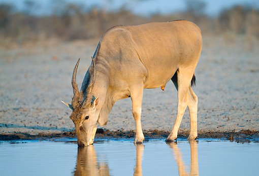AFW 36 MH0001 01 © Kimball Stock Common Eland Drinking At Waterhole In Savanna At Dusk