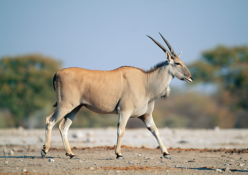 AFW 36 MH0004 01 © Kimball Stock Common Eland Walking In Savanna Profile