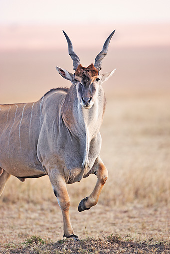 AFW 36 MH0005 01 © Kimball Stock Portrait Of East African Eland Standing In Savanna Kenya