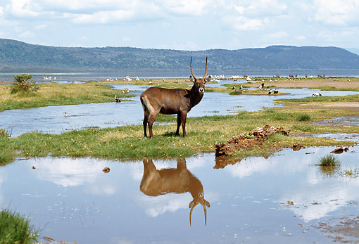 AFW 37 GL0001 01 © Kimball Stock Waterbuck Standing On Grass Near Watering Hole