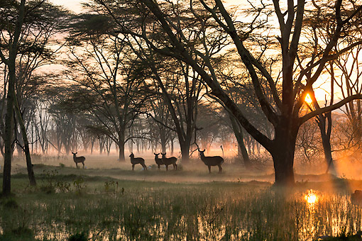 AFW 37 MH0004 01 © Kimball Stock Group Of Waterbuck At Sunrise In Lake Nakuru National Park