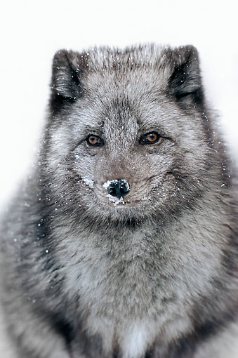 ARC 01 AC0001 01 © Kimball Stock Arctic Fox Portrait In Snow