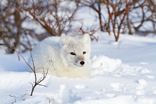 ARC 01 DA0001 01 © Kimball Stock Arctic Fox Laying In Snow At Churchill Wildlife Management Area, Canada