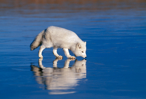 ARC 01 KH0001 01 © Kimball Stock Arctic Fox Walking On Iced Lake